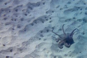 Octopus on hunt