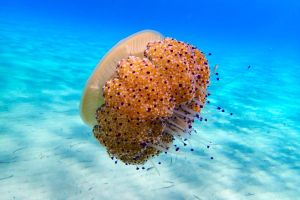 A picturesque jelly fish