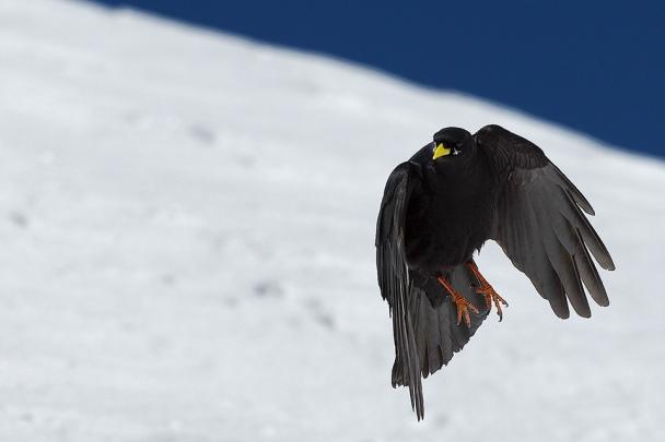 crow-santis_artborghi_1smalll