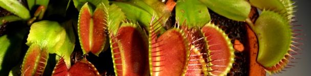 artborghi-carnivore-dionaea-muscipula-small960