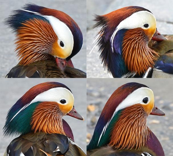 mandarin duck artborghi headsmall