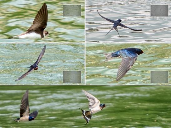 swallows-aargau-switzerland-artborghi-small3
