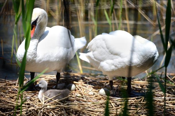 artborghi-ugly-duckling-11