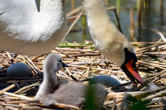artborghi-ugly-duckling-14