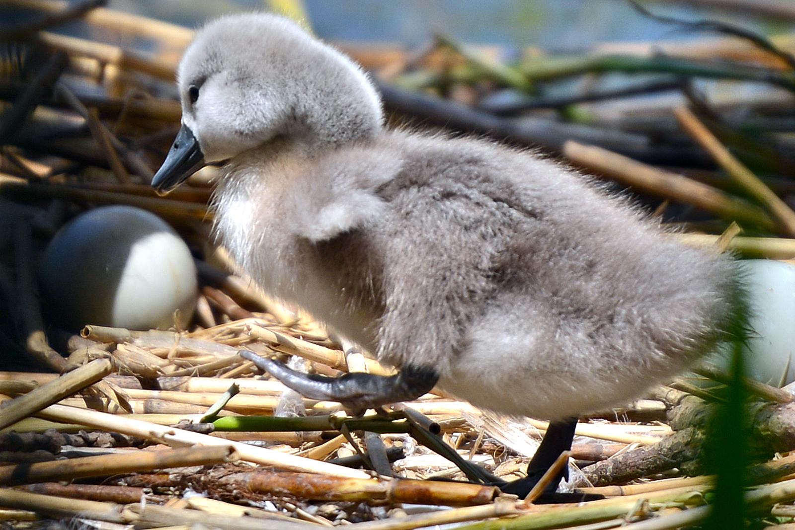am ugly duckling | artborghi.com
