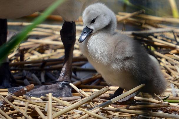 artborghi-ugly-duckling-4