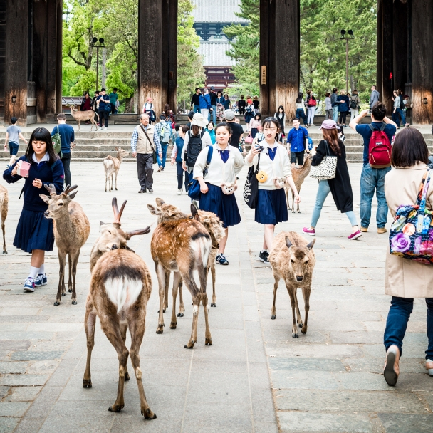 A day with the holy deers of Nara