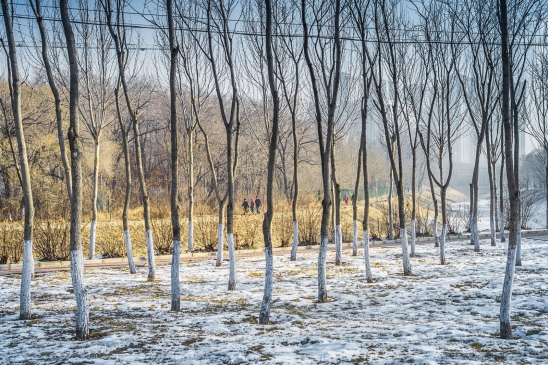 A birch-tree forest in Harbin