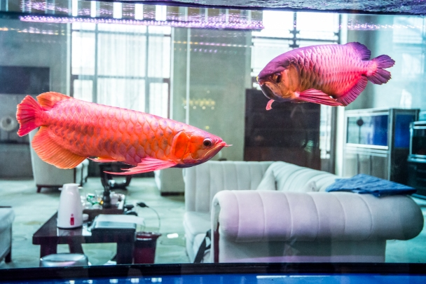 Asian arowanas at Harbin Lindian Hot Spring